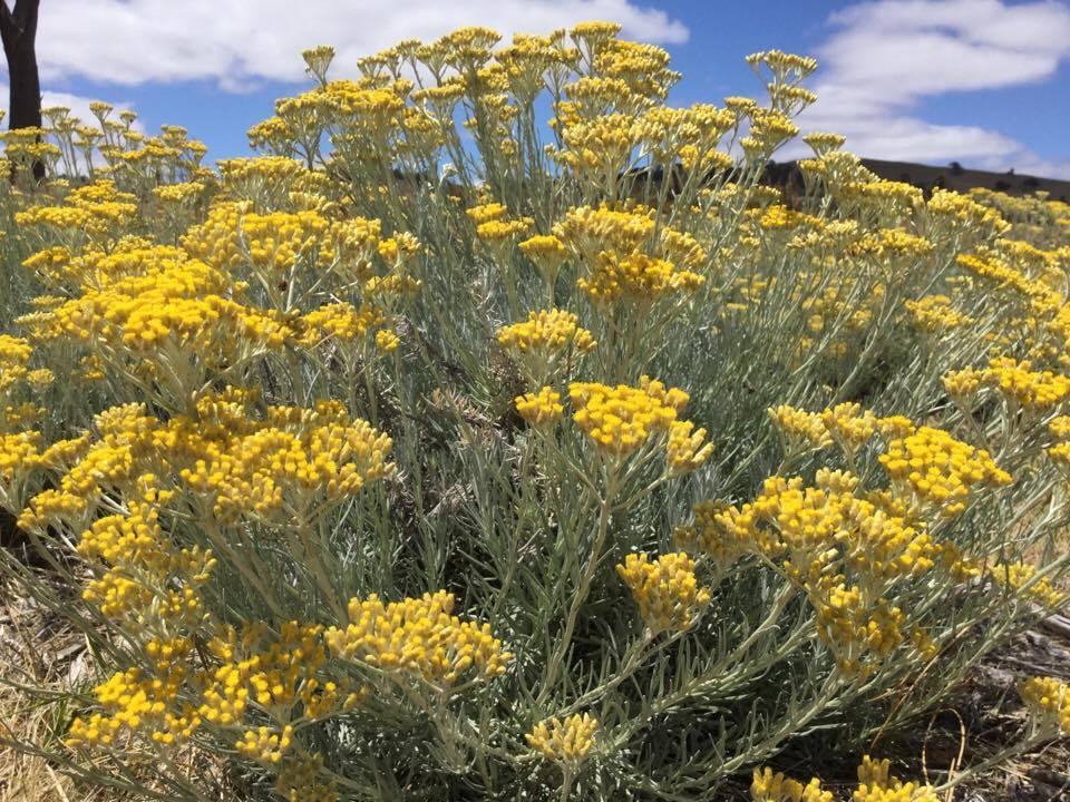 Helichrysum italicum serotinum Hydrosol Organic Not