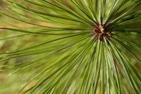 Pine, White Canada (O)