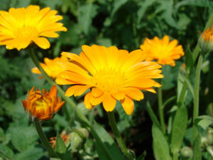 Calendula (O) Infused in Sunflower (O) USDA