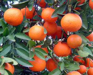 Mandarin, Red (O)