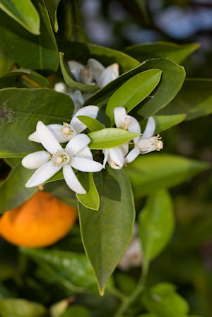 Orange Blossom Absolute Extra 10%