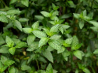 Peppermint USA Wilamette (O)