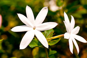 Jasmine Ambrosia All Natural Perfume