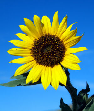 Sunflower - High Oleic Carrier Oil (O)