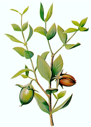 Jojoba, Golden Carrier Oil